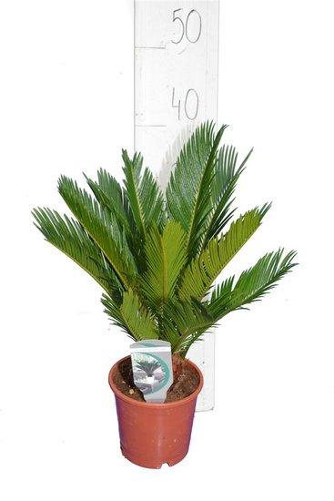 Cycas revoluta pot Ø 14 cm - total height 34-45 cm