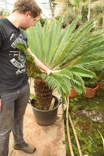 Cycas revoluta pot Ø 50 cm - trunk 50-60 cm [pallet]