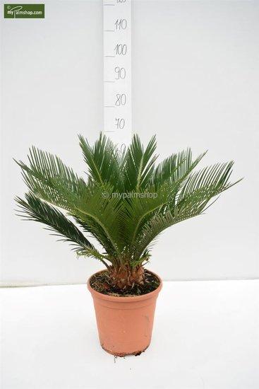 Cycas revoluta pot Ø 24 cm - total height 55-65 cm