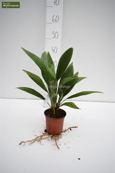 Chamaerops humilis 'Vulcano' total height 30-40 cm - pot Ø 13 cm