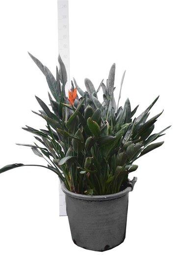 Strelitzia reginae Ø 65 cm pot [pallet]