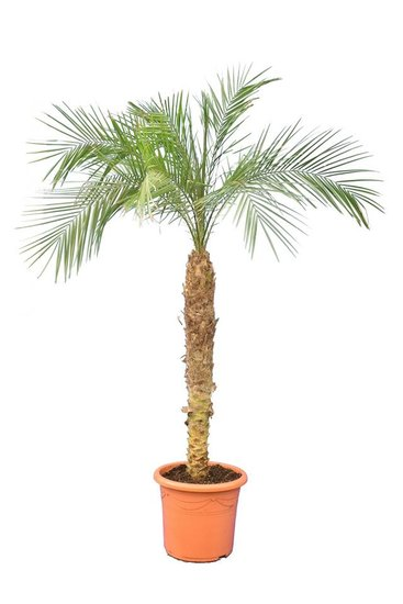 Phoenix roebelenii trunk 100-120 cm [pallet]