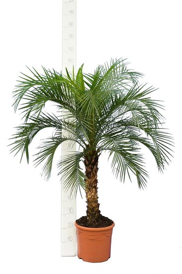 Phoenix roebelenii trunk 60-80 cm [pallet]