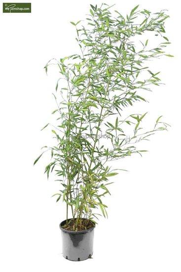 Phyllostachys parvifolia 10 Ltr pot