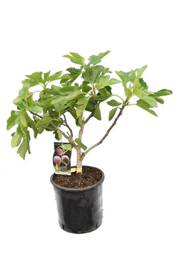 Ficus carica Brown Turkey pot Ø 26 cm total height 70-90 cm