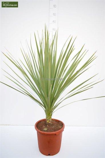 Cordyline australis pot Ø 35 cm