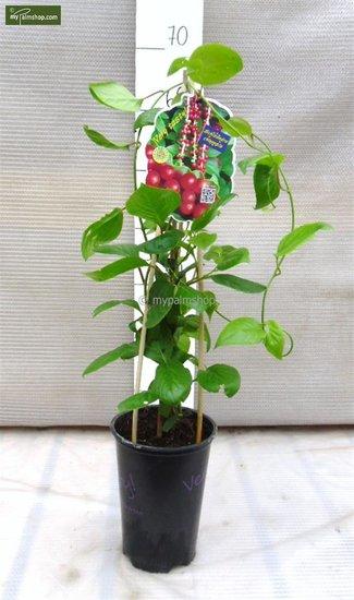 Schisandra chinensis - 2 Ltr pot