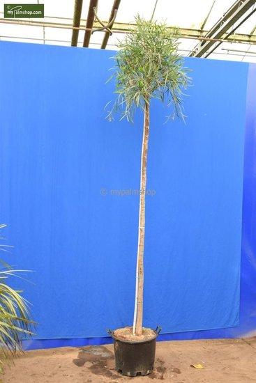 Acacia dealbata trunk 200+ cm [pallet]