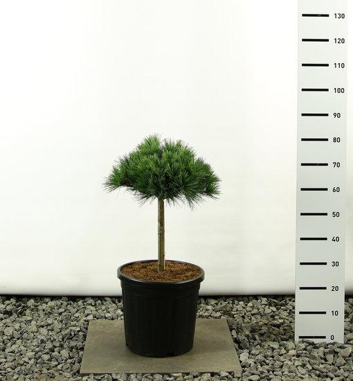 Pinus strobus Radiata ball on trunk - total height 80-100 cm