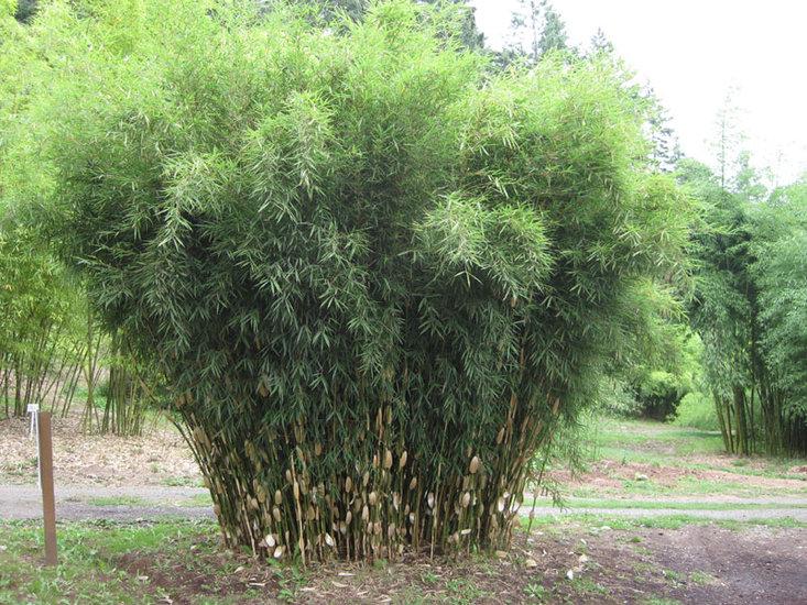 Fargesia robusta Wolong 2 ltr