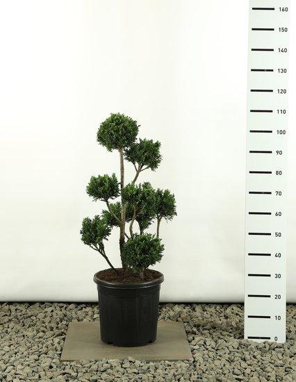 Chamaecyparis obtusa Draht Multibol - total heigth 80-100 cm
