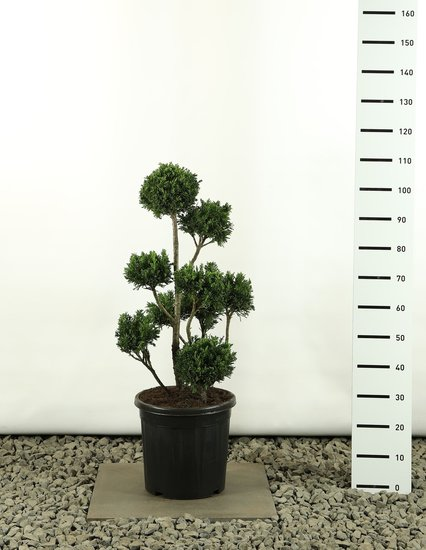 Chamaecyparis obtusa Draht Multibol - total heigth 60-80 cm
