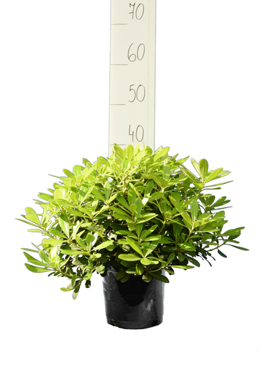 Pittosporum tobira 'Nanum' pot 3 ltr