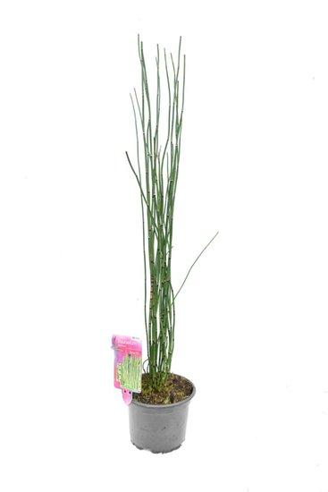 Equisetum japonicum - total height 80-100 cm - pot Ø17 cm 2 ltr
