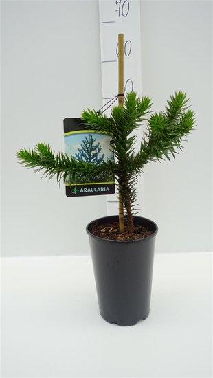 Araucaria araucana pot 3 ltr