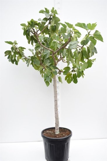 Ficus carica Brown Turkey trunk 80-90 cm [pallet]