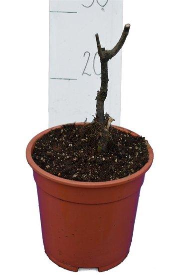 Ficus carica Sp. Précoce de Dalmate pot Ø 17 cm