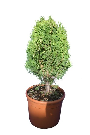 Thuja orientalis Aurea Nana Ø 32 cm pot
