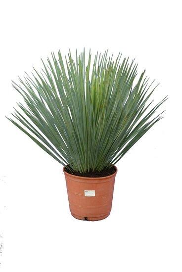 Yucca rostrata total height 60-80 pot Ø 21 cm