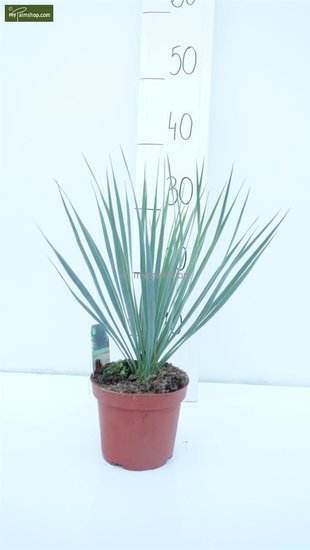 Yucca rostrata total height 30-40 cm pot Ø 15 cm