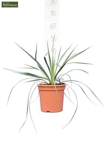 Yucca rostrata total height 40-60 cm pot Ø 20 cm