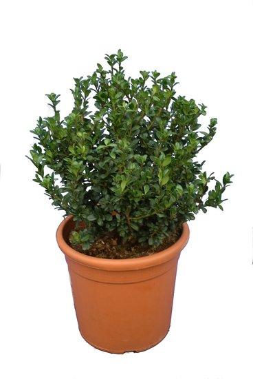 Ilex crenata Caroline Upright shrub pot Ø 28 cm - total height 60-80 cm