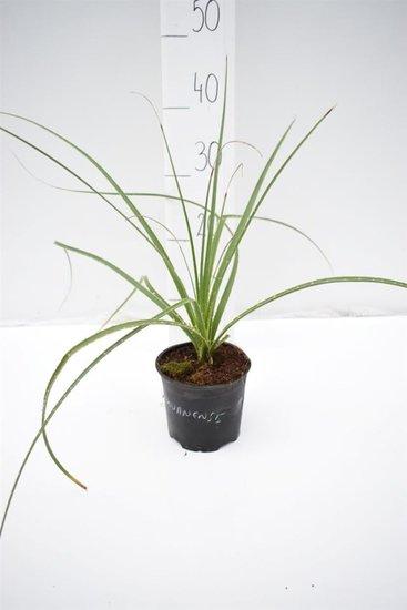 Dasylirion miquihuanensis pot Ø 13 cm