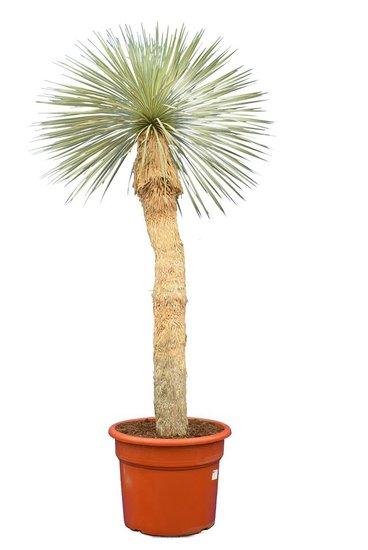Yucca rostrata trunk 80-100 cm pot 45 ltr [pallet]
