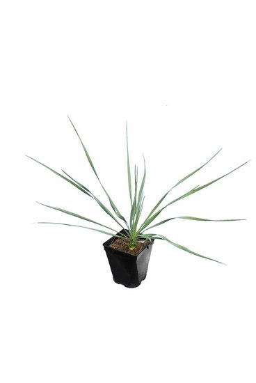 Yucca rostrata Sapphire Skies total height 40+cm pot P11