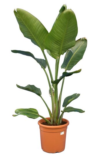 Strelitzia nicolai - total height 140-170 cm - pot Ø 30 cm - 2 plants in a pot