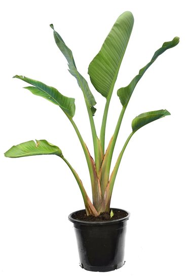 Strelitzia nicolai - total height 160-180 cm - pot Ø 38 cm - 3 plants in a pot [pallet]
