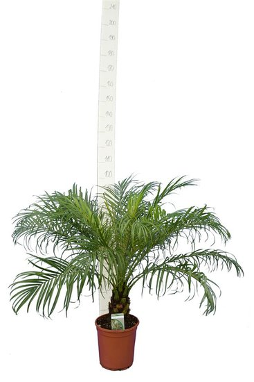Phoenix roebelenii - trunk 10-20 cm - total height 100-120 cm - pot Ø 24 cm