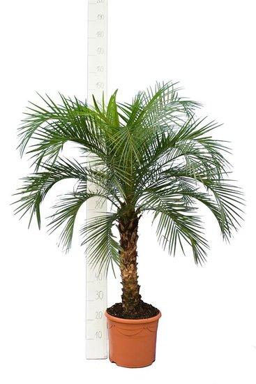 Phoenix roebelenii - trunk 60-80 cm - total height 140-180 cm - pot Ø 35 cm [pallet]