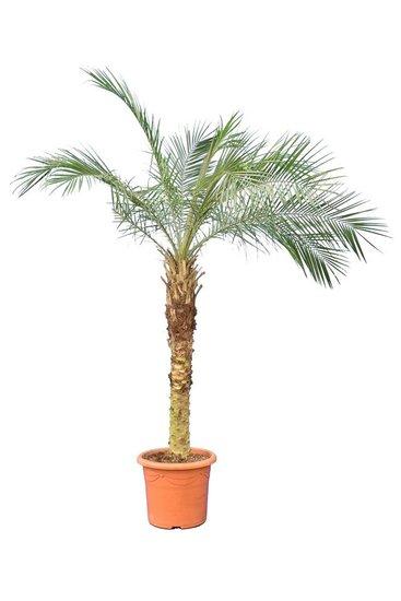 Phoenix roebelenii trunk 80-100 cm [pallet]