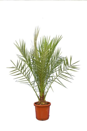 Phoenix Dactylifera - total height 130-160 cm - pot Ø 32 cm