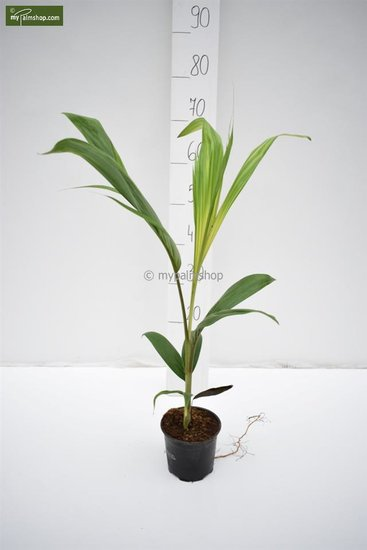 Archontophoenix cunninghamiana - total height 60-80 cm - pot Ø 13 cm