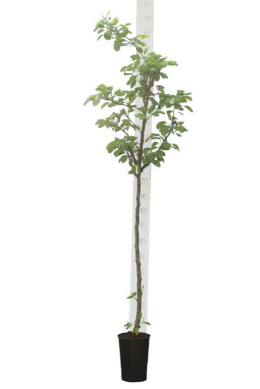 Prunus persica var. platycarpa pot Ø 26 cm