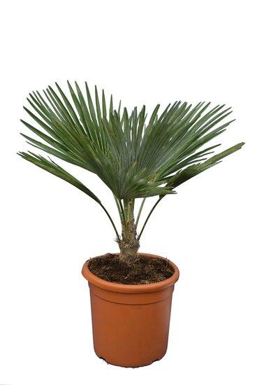 Trachycarpus princeps - trunk 5-15 cm - total height 60-80 cm - pot Ø 30 cm