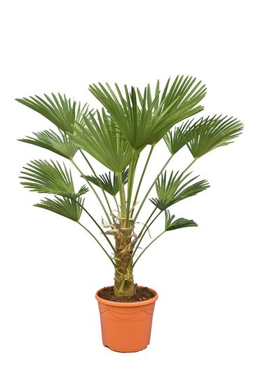 Trachycarpus wagnerianus Frosty - trunk 30-40 cm - total height 120-140 cm - pot Ø 35 cm