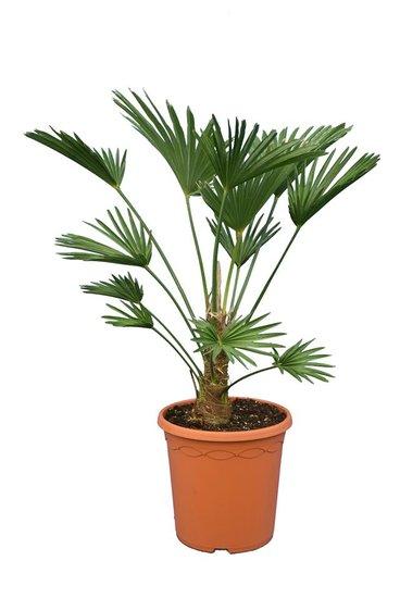 Trachycarpus wagnerianus Frosty - trunk 15-25 cm - total height 70-90 cm - pot Ø 26 cm