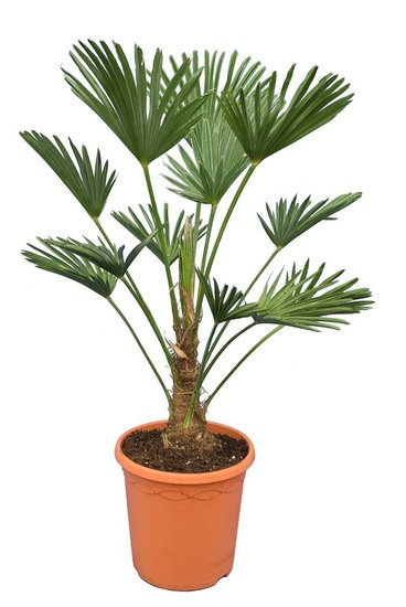 Trachycarpus wagnerianus Frosty - trunk 20-30 cm - total height 90-110 cm - pot Ø 26 cm