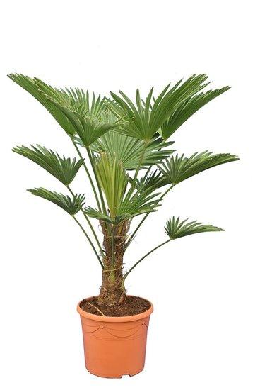 Trachycarpus wagnerianus Frosty - trunk 25-35 cm - total height 100-120 cm - pot Ø 30 cm