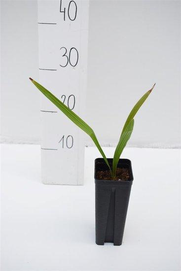 Trachycarpus wagnerianus x nanus - pot 0.7 ltr