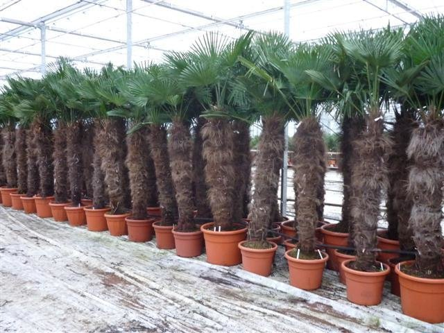 Trachycarpus wagnerianus - trunk 140-160 cm - pot 90 ltr [pallet]