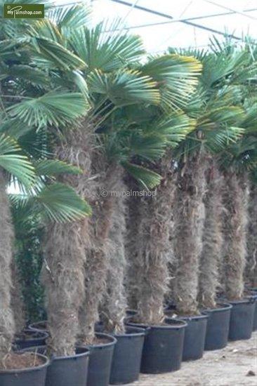 Trachycarpus wagnerianus - trunk 180-200 cm - pot 110 ltr [pallet]