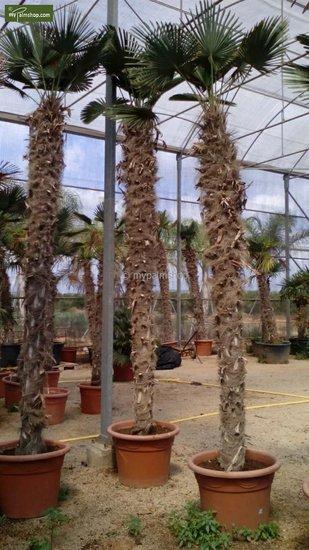 Trachycarpus wagnerianus - trunk 200-225 cm [pallet]
