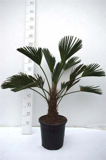 Trachycarpus wagnerianus - trunk 20-30 cm - total height 90-100 cm - pot Ø 31 cm