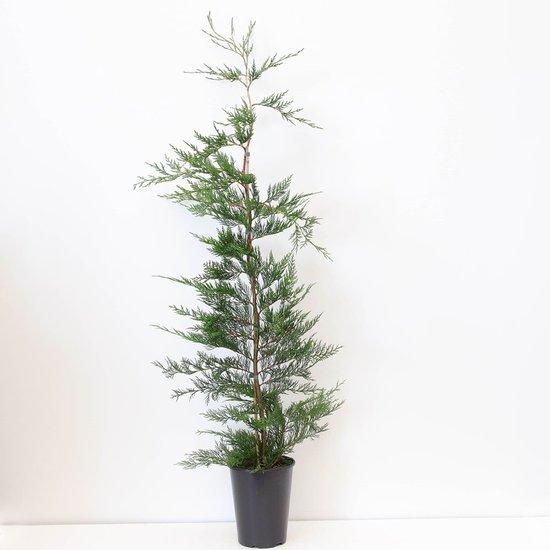 Cupressocyparis leylandii - total height 100-120 cm - pot 4 ltr