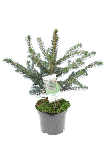 Picea pungens Glauca - total height 50-60 cm - pot 3 ltr
