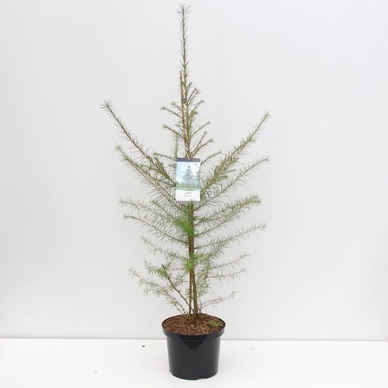 Larix decidua - total height 100-120 cm - pot 5 ltr